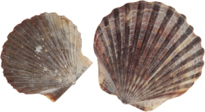 how-to-pronounce-scallop